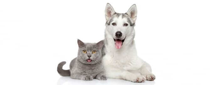 Husky and Grey Cat Panting