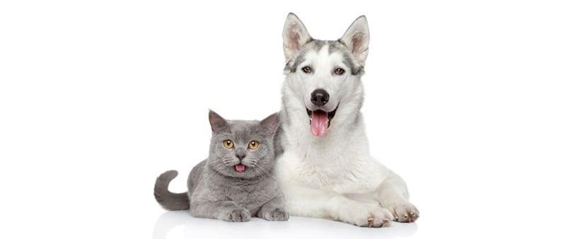 Husky and Grey Cat Panting