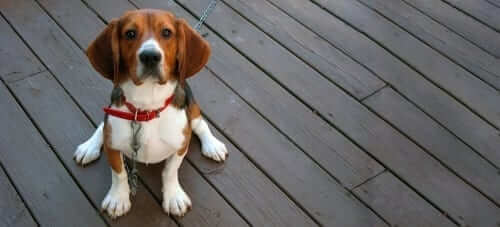 Sitting Beagle at Risk for Heartworm
