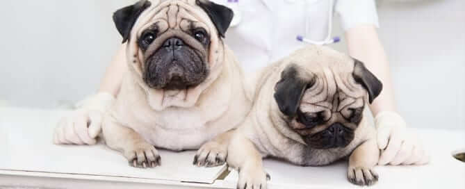 Pugs at a Vet Appointment