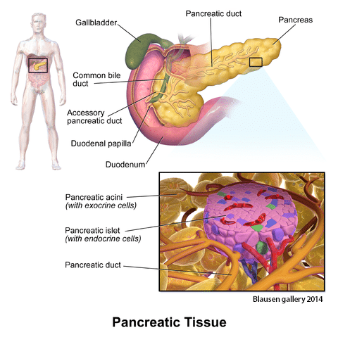 How Does My Pancreas Work?