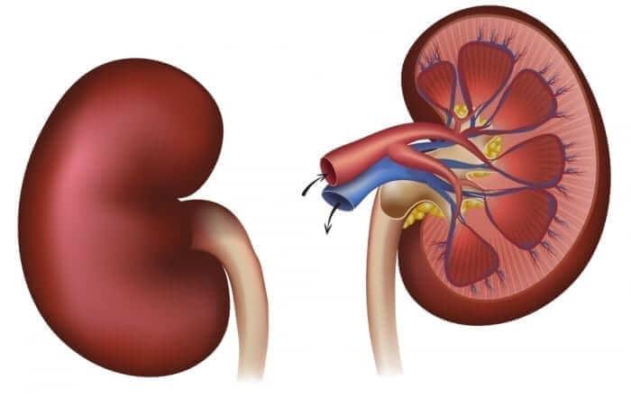 Kidney - Kidnies