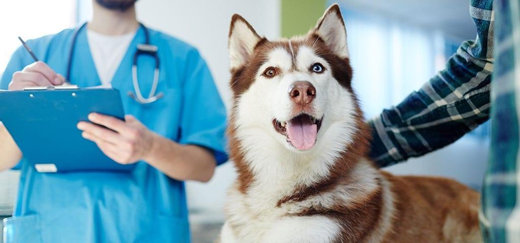 Huskey happy at vets office