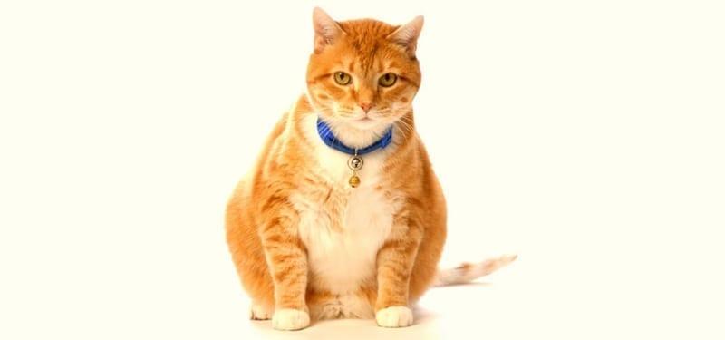 Fat Orange Cat