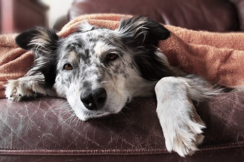 Holistic Alternatives for Noise Phobia in Pets?