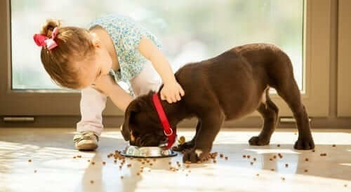 Girl with chocolate lab eating his food