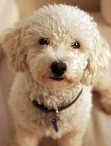 Cocapoo Shihpoo or Goldendoodle Mix