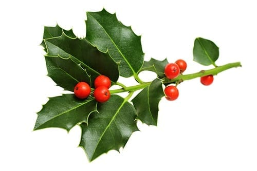 Holiday Plants to Avoid - Holly