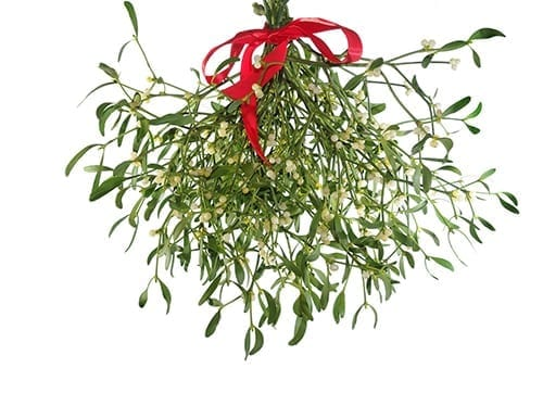 Holiday Plants to Avoid - Mistletoe