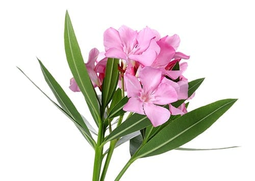 Holiday Plants to avoid - Oleander