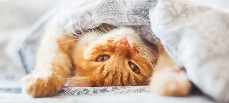 Orange Kitty Under Blanket