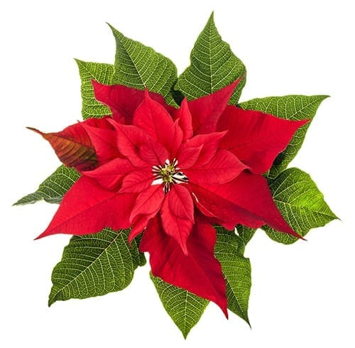 Holiday Plants to Avoid - Poinsettia