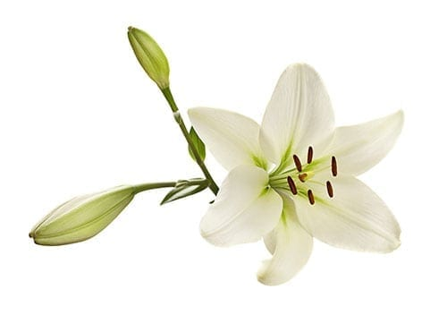 Holiday Plants to Avoid - Lily