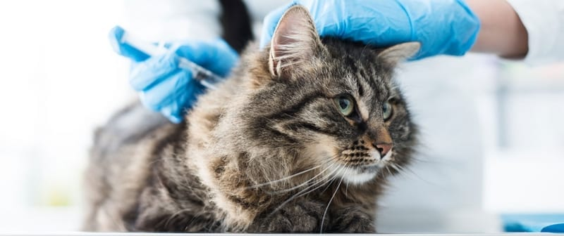 Diabetic Cat Getting Insulin Injection