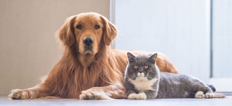 Retriever and House Cat Laying Next To Each Other