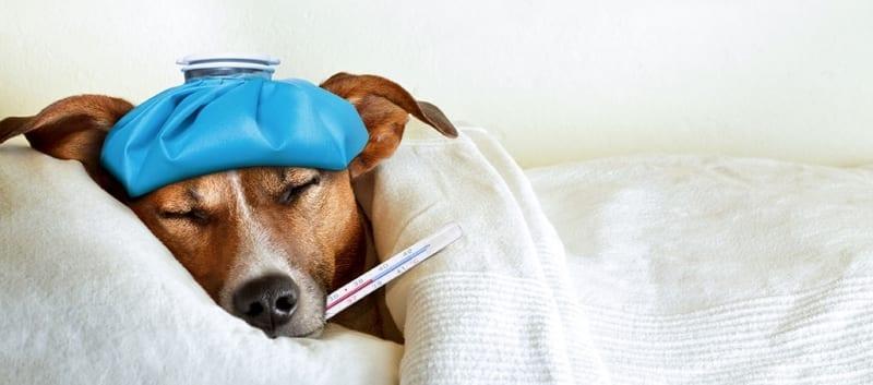 Sick doggo with influenza