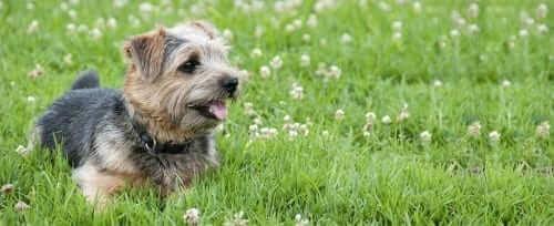 Cairn Terrier Lying in Field of Flowers