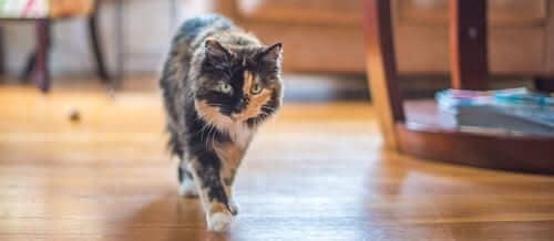 Tortishell Cat on the Prowl