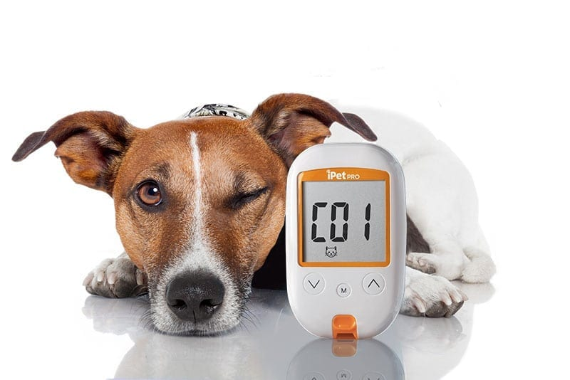 Dog with iPet Glucose Meter