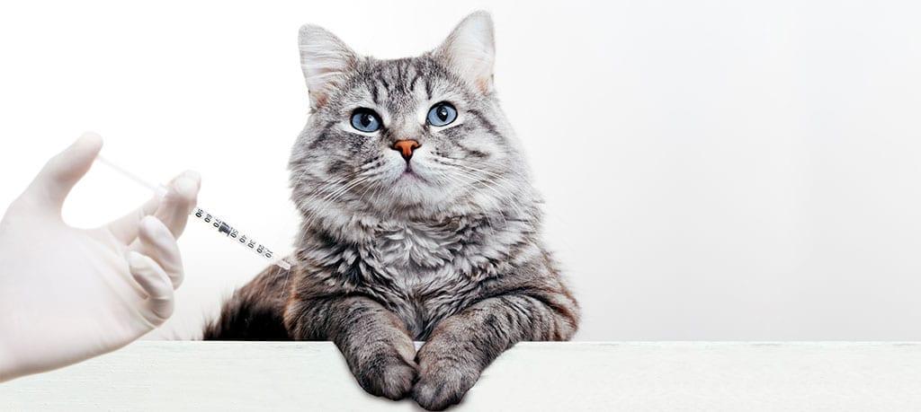 Cat Recieving a Shot