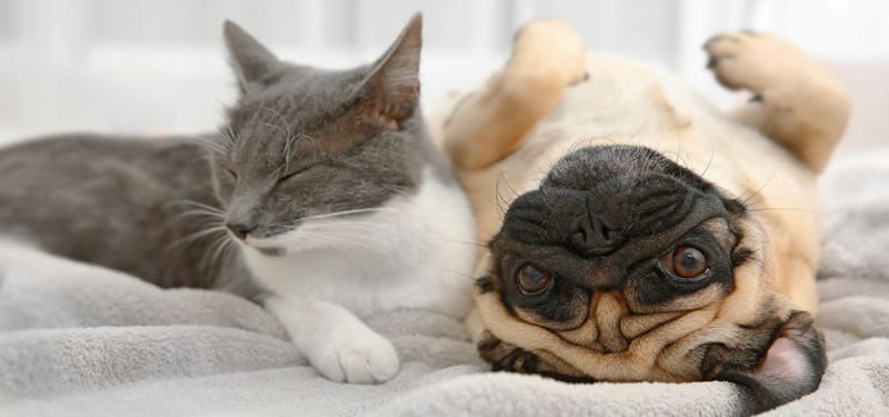 Grey Cat and Pug Next to Each Other